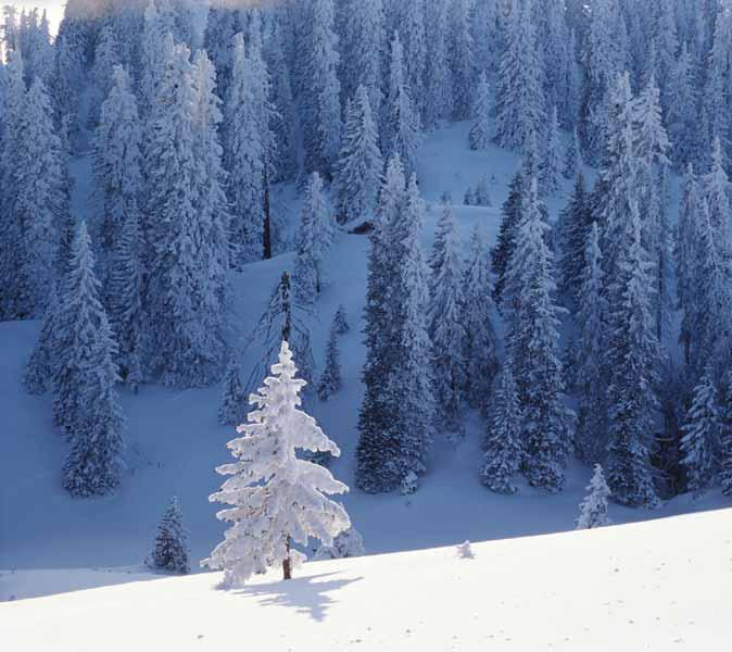 Winter trees (Windows nature wallpaper)