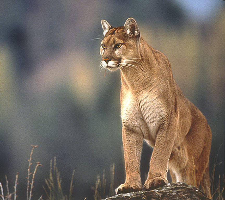 Mountain lion (Windows nature wallpaper)