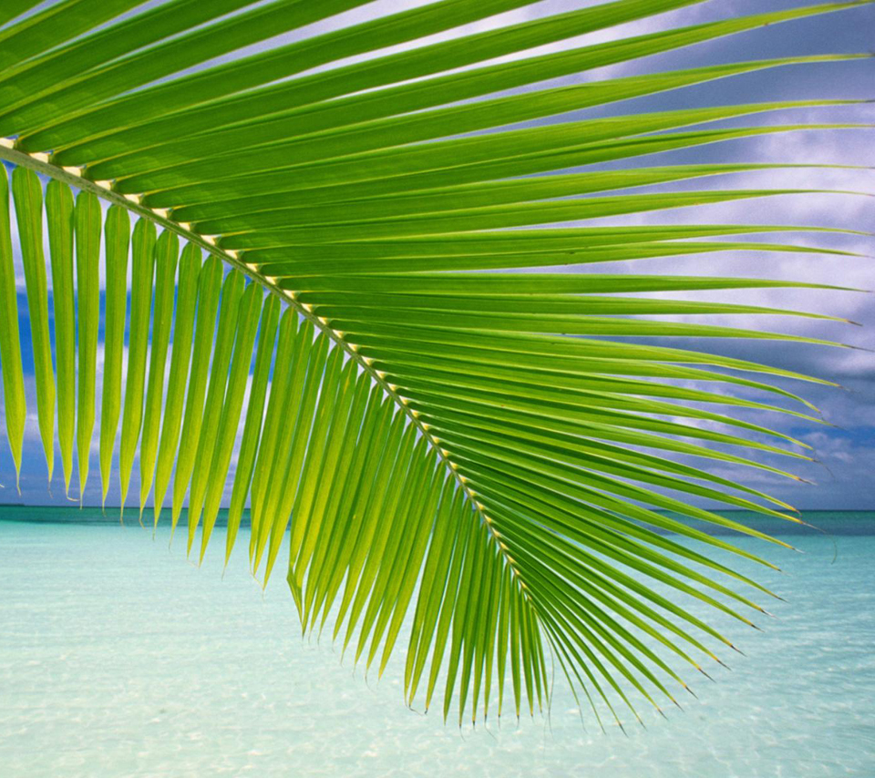 Palm frond (Windows nature wallpaper)
