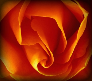 Orange Rose (OS X wallpaper)